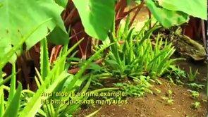 Laʻau Lapaʻau Aloe