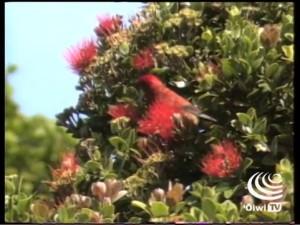 Ka Haku Hulu – The Featherworker