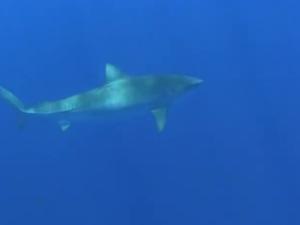 Huakaʻi Papahānaumokuākea 2012: Shark Tagging