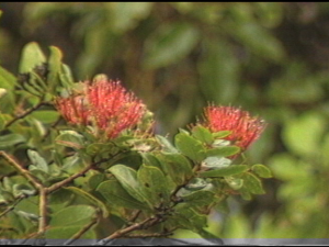 Living Jewels – The Rare Plants of Hawaiʻi